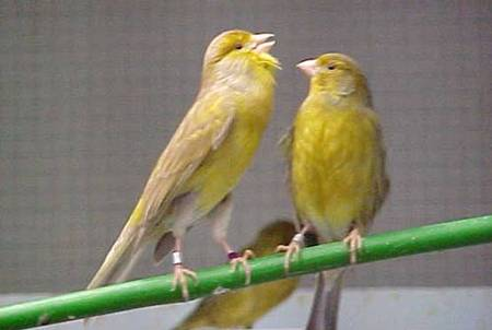 Couple de canaris